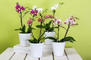 orchids-595242_1280-300x199